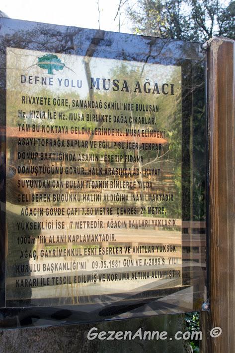 Musa Ağacı efsanesi hakkında bilgi, Hıdırbey köyü Hatay