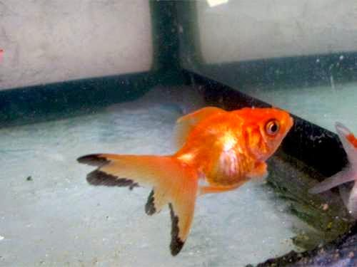 Killer Goldfish