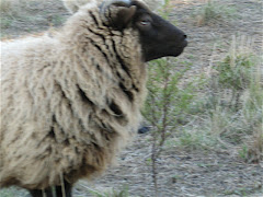 Shetland Sheep Rams and Ewes