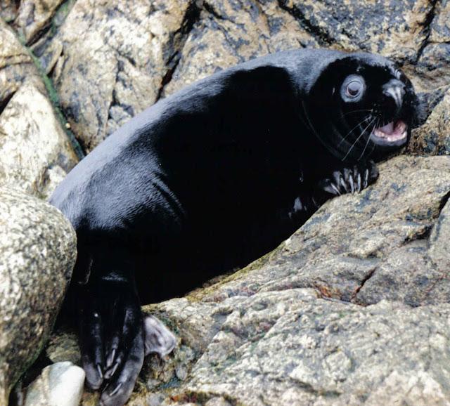 15 amazing melanistic animals, black animals, melanistic animals, melanism,