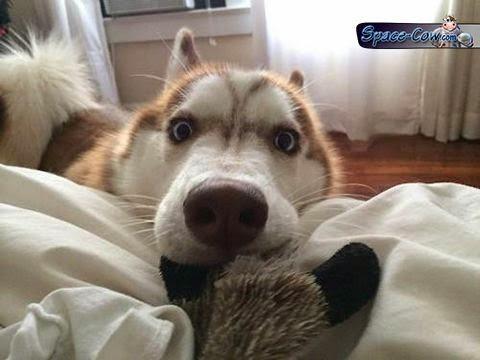 funny cute husky dog