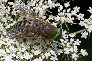 Para ampliar Philipomyia aprica (Meigen, 1820) hacer clic