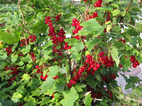 röda vinbär, red currants