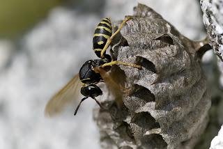 Para ampliar Polistes biglumis  (avispa cartonera) hacer clic