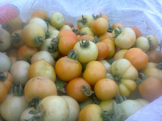Buah Tomat Rampai Segar