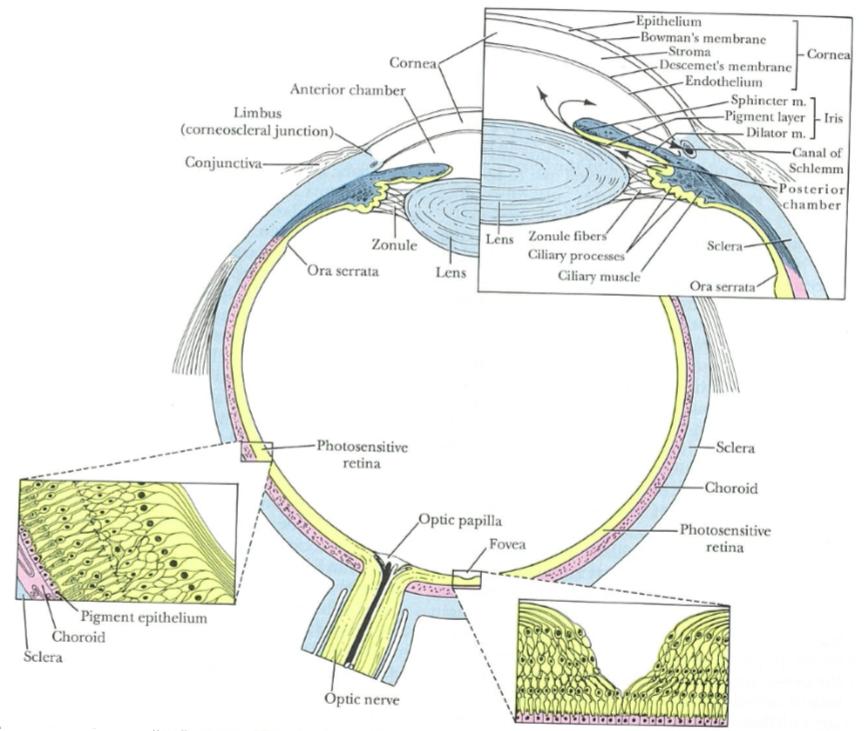 Eye Opener: Anatomy - Layers of the eye