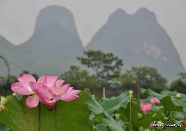 Lotus Blossom, Yangshou, China