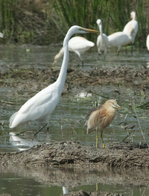 Great Egret (Ardea alba) and Javan Pond Heron (Ardeola speciosa)