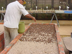 O plantio de sementes de imbuzeiro