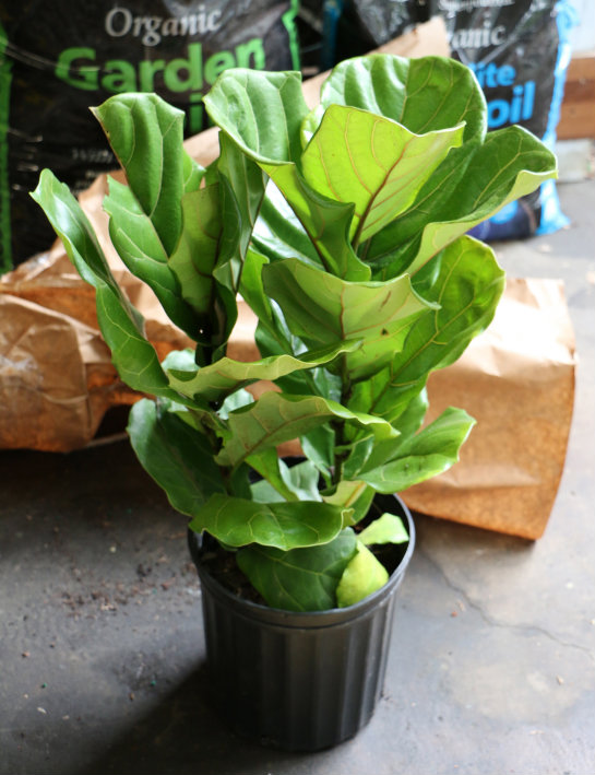 posted by mary andrews may 2 - Fiddle Leaf Fig Tree Care