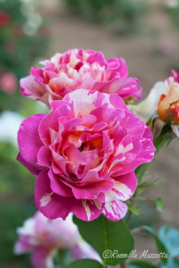 Semplicemente insieme maggio delle rose for Semplicemente me facebook