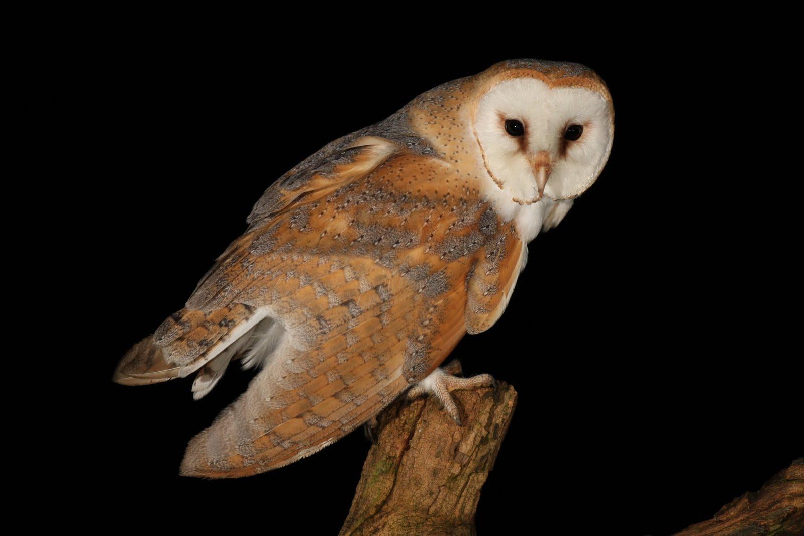 barn owls - photo #7