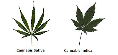 differences between Cannabis Sativa and Cannabis Indica