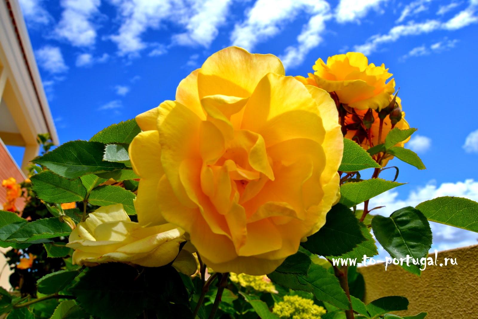 португальские цветы
