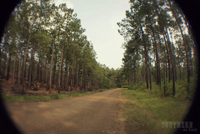 Kisatchie National Forest - Alexandria Louisiana - Pine Trees and Dirt Road