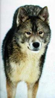 Foto Anjing Siberian Husky Sable
