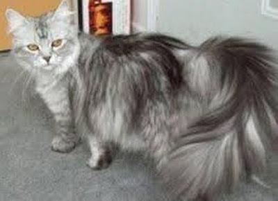 Kucing persia paling favorite