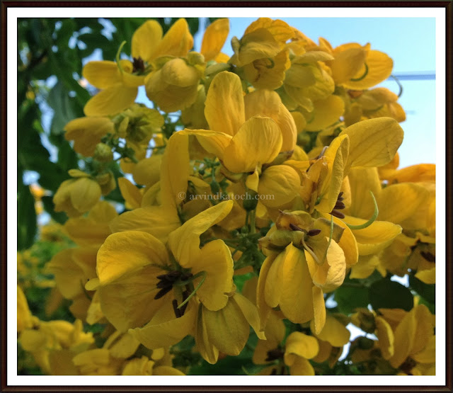 Golden, Yellow Flowers, Cassia Fistula, The Golden Shower Tree,