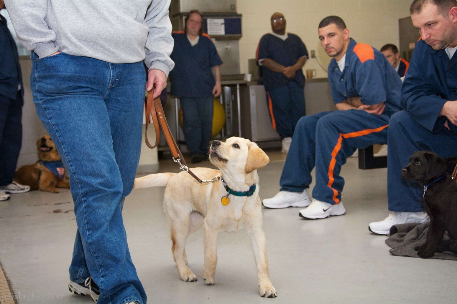 A yellow lab puppy is walking on the left side of a woman wearing a grey sweatshirt and blue jeans. You cannot see the woman's head or upper body. She is holding the leash loosely with her left hand and her right hand is in her right pocket. Five men dressed in blue prison uniforms are to the right watching, two are standing and three are sitting down. A small black lab is sitting on a grey mat on the far right side. You can just see a golden retriever lying down behind the woman's legs on the left side of the photo.