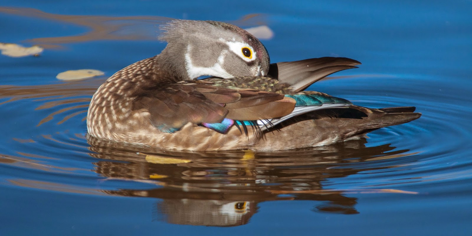 Wood Duck, Sterne Park