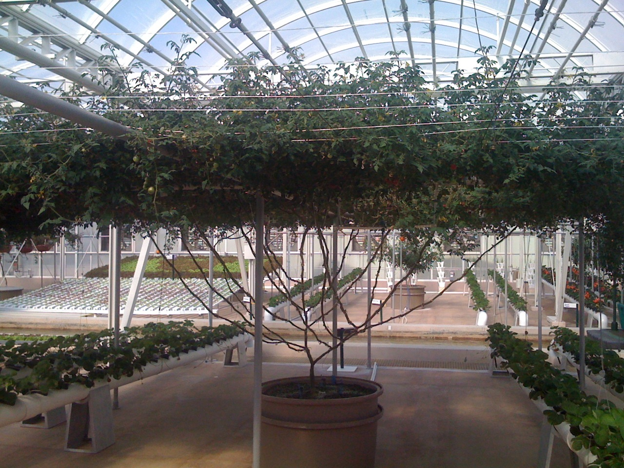 Giant-Largest-World-Record-Tomato-Tree-Ever-Disney-Epcot-Seeds-of-Life-Tour