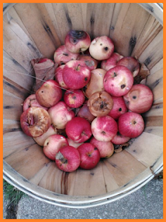Basket of apples, nibbled on by wildlife.
