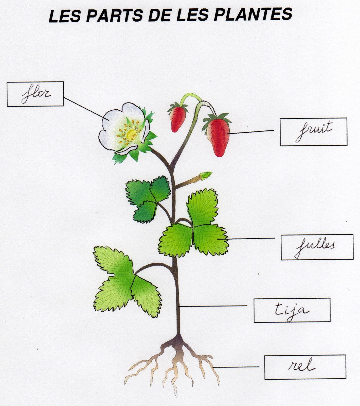 Hi ha trenques ferm tema 11 5 les plantes for Les plantes