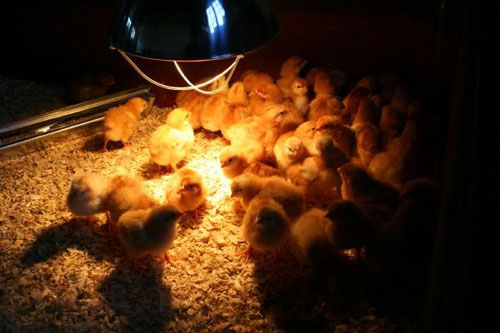 Farming Solutions From Windmill Managing The Brooder