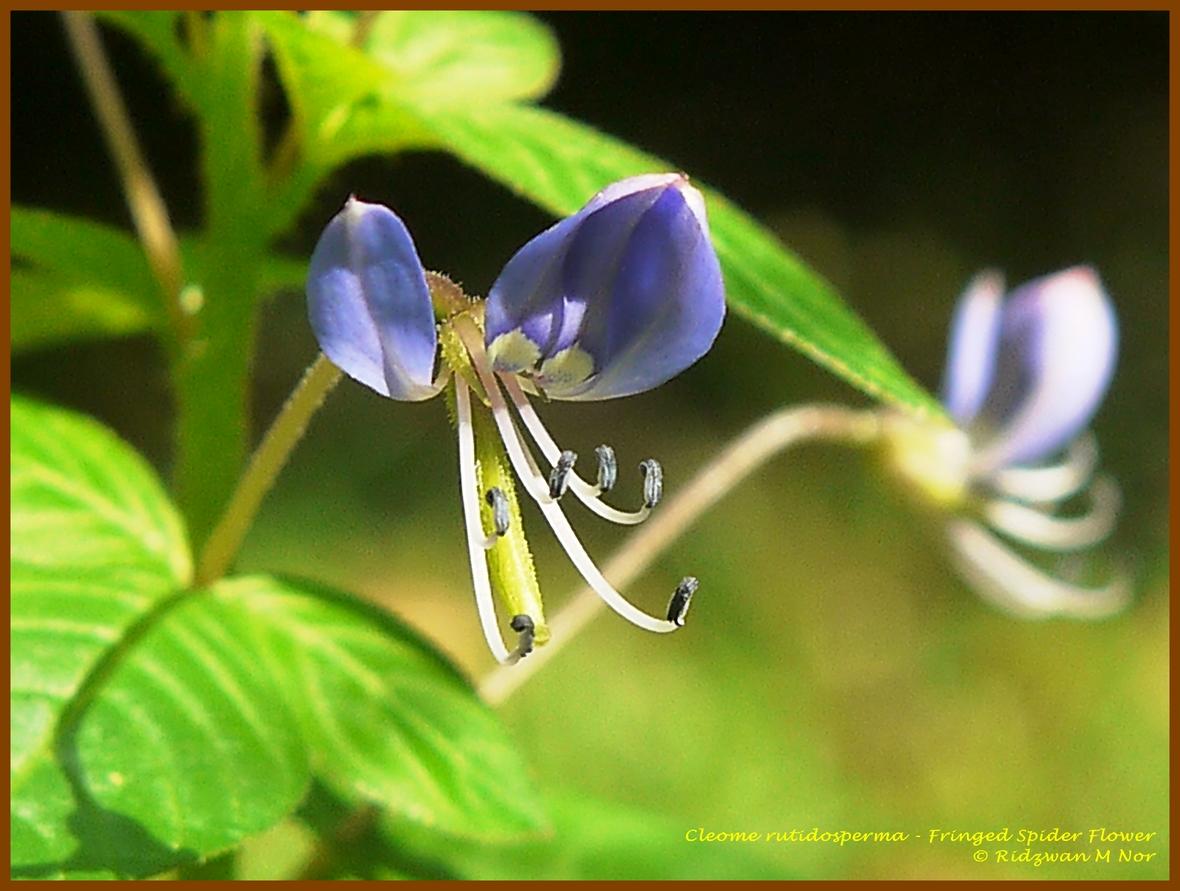 Cleome rutidosperma Fringed Spider Flower