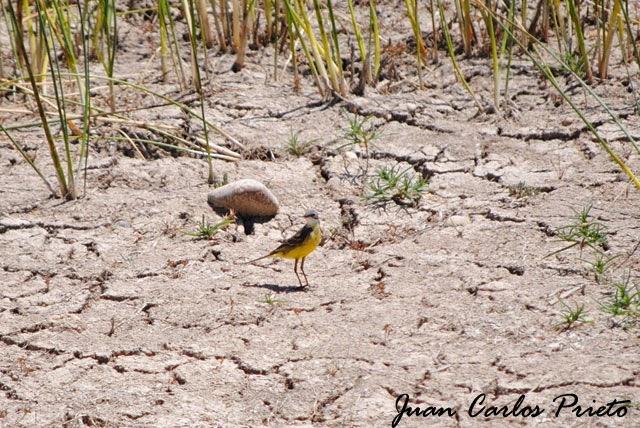 Excursión Grupo Local SEO-Sevilla SEO/BirdLife a las marismas de Doñana. Lavandera Boyera.