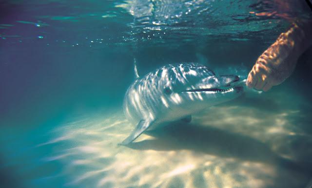 Тангалума. Дельфин берёт рыбу с руки