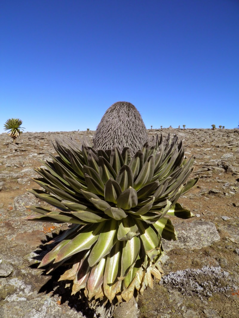 giant lobelia in the bale mountains
