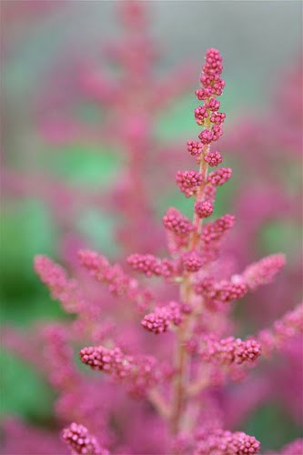Beautiful flowers astilbe flowers pictures meanings their foliage is similar in appearance to ferns and their flowers come in mild pretty shades of white pink maroon and lavender mightylinksfo