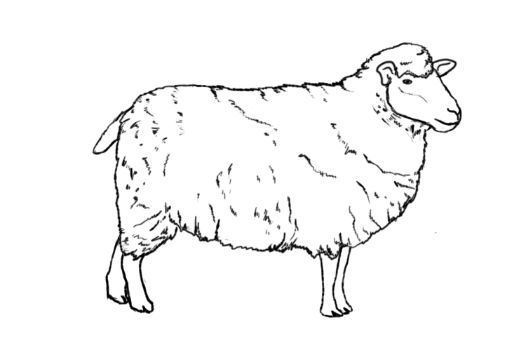 How to draw a sheep - photo#4