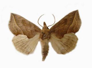 Calyptra thalictri by Anaxibia