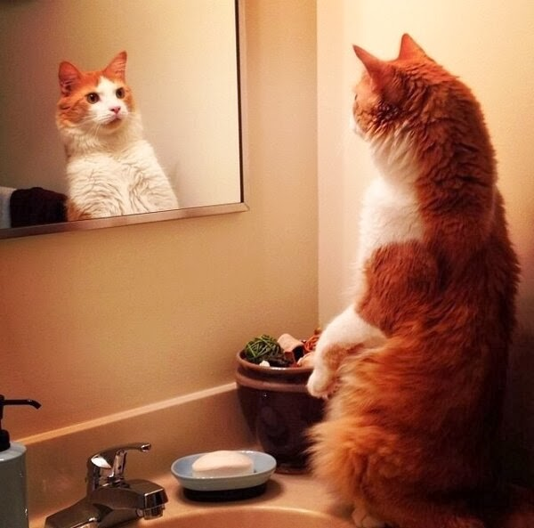 Funny cats - part 88 (40 pics + 10 gifs), cat stands in the sink looking at the mirror