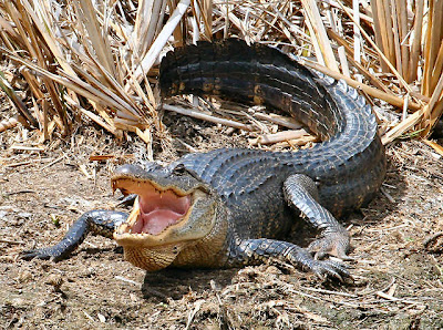 Angry American Alligator
