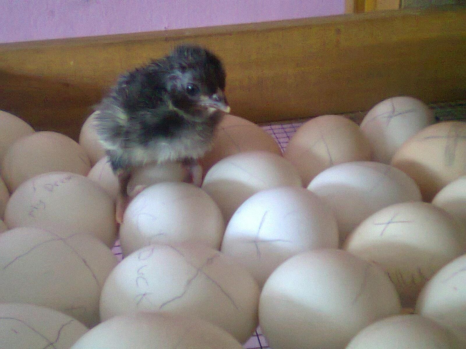 Cara Menetaskan telur Ayam