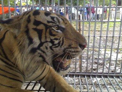 Ngeri, Gambar mangsa serangan Sang Harimau | Qaseh Aneq