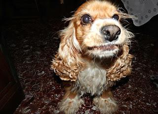 Χάθηκε θηλυκό cocker spaniel, 10 ετών από την Αιξωνη, Άνω Γλυφάδα! Την έχει δει κανείς?