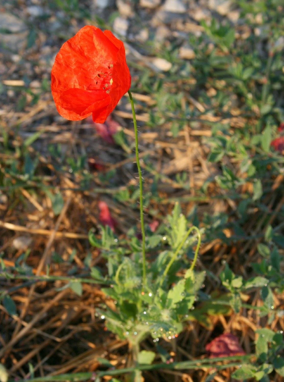Lovely glistening poppy