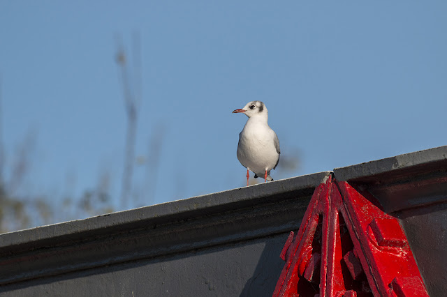 Black Headed Gull stood on the Aqueduct