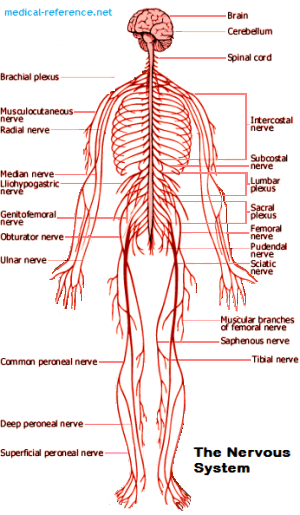 picture of the nervous system