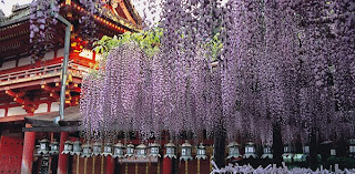 Great Wisteria Flowers