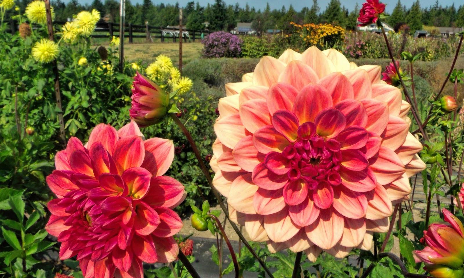 Цветы георгина махровая фото