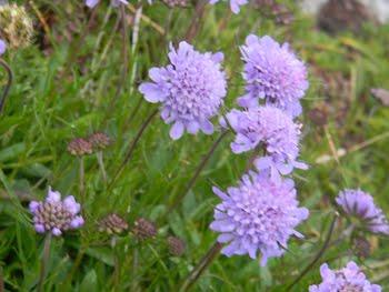 Knautia longifolia (Ambretta alpina)