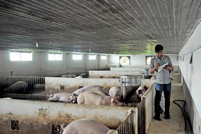 Phụ thuộc vào nguồn thuốc thú y ngoại, ngành chăn nuôi trong nước kém sức cạnh tranh không là điều ngạc nhiên Ảnh: A Lộc