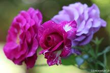 Rose Violette Parfumée