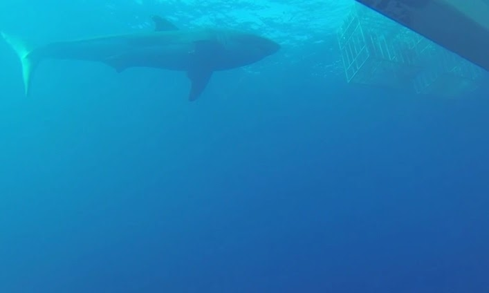 Great white shark at Isla Guadalupe during cage dive