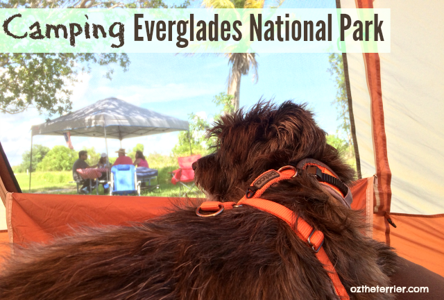 Oz the Terrier camping in dog-friendly Everglades National Park